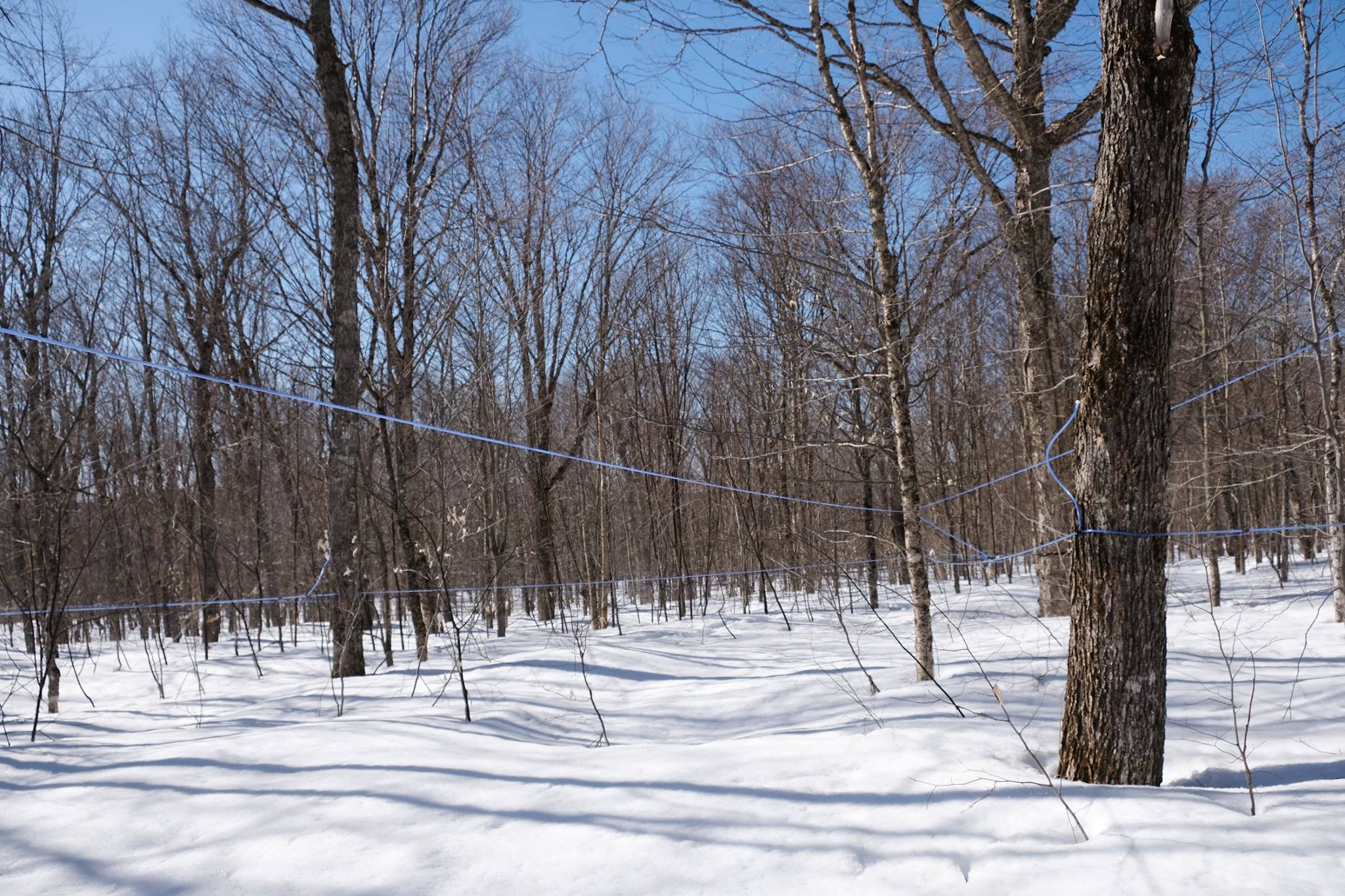 Tapped Maple trees in the winter